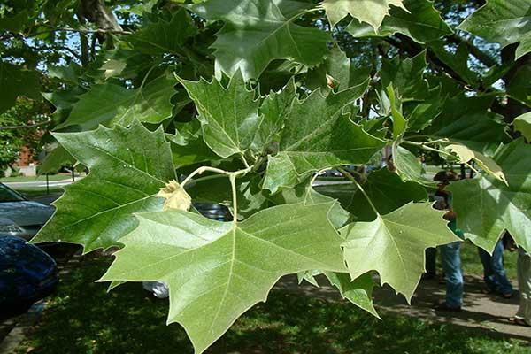 میزان آب مورد نیاز درخت چنار