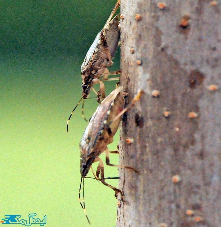سوسک های چوبخوار از آفات مهم درختان