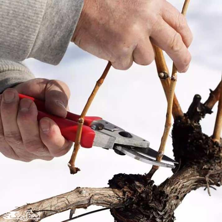 مراقبت های لازم از نهال انگور