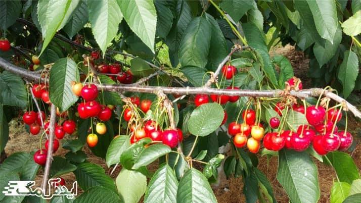 مشکلات آبیاری درخت گیلاس