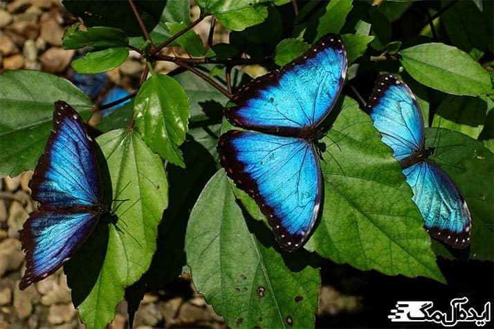 پروانه بلومورفو