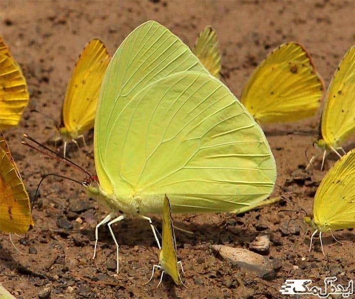 پروانه های گوگردی