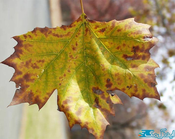زرد شدن برگ ها در شرایط قلیایی خاک