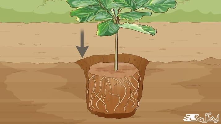 نحوه ی کاشت درخت انجیر