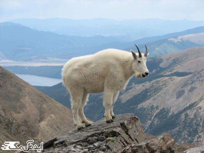 بز کوهی یک حیوان وحشی است که در کوهستان زندگی میکند
