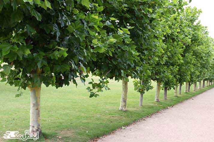استفاده از درخت چنار در پارک ها