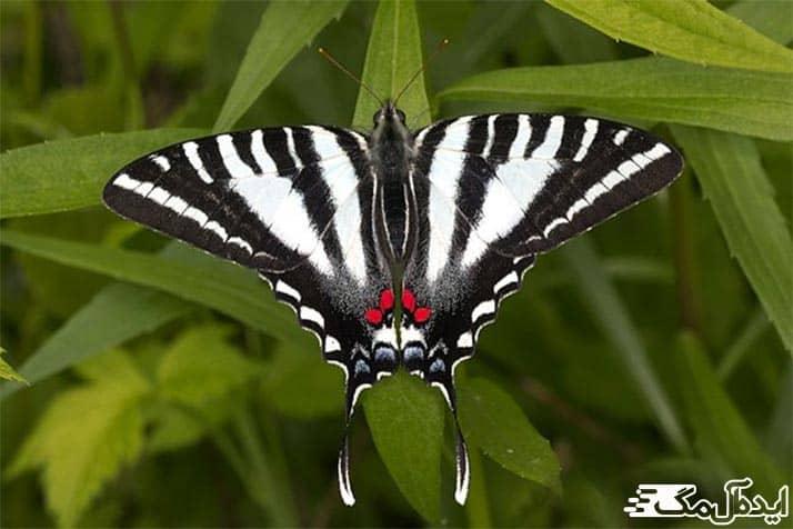 پروانه های زیبای آمازون