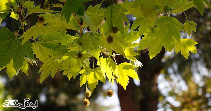 برگ و میوه درخت چنار