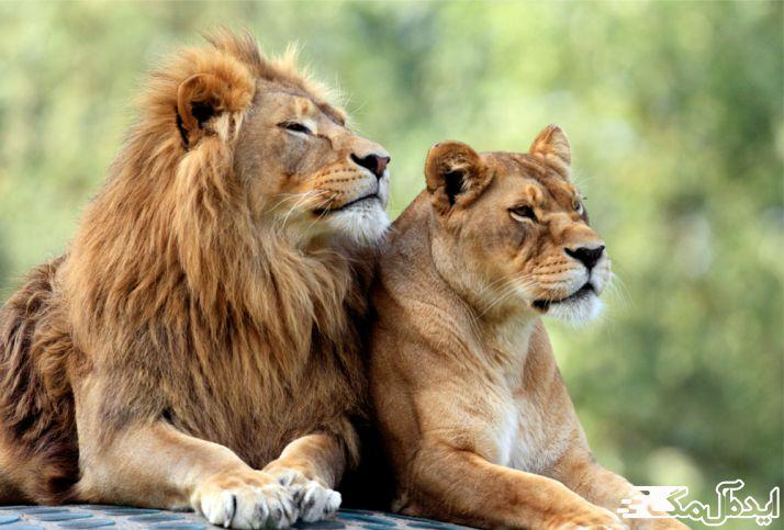 شیر یکی از حیوانات وحشی است که در جنگل زندگی میکند