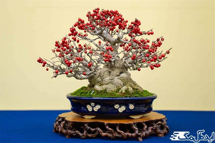 درخت بونسای گلدار
