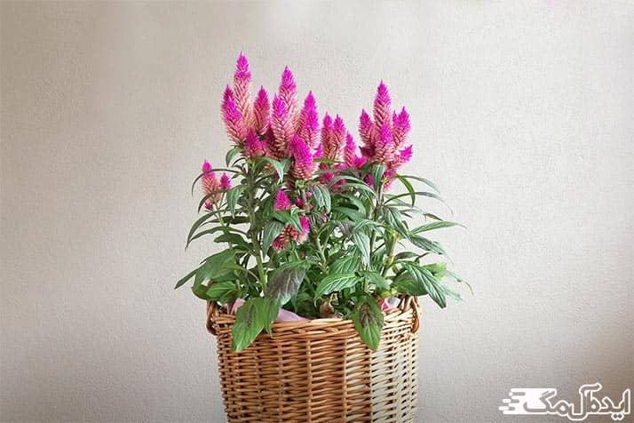 گیاه زیبای تاج خروسی