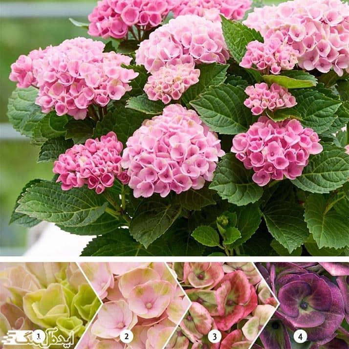 تغییر رنگ گل ادریسی در خاک های مختلف