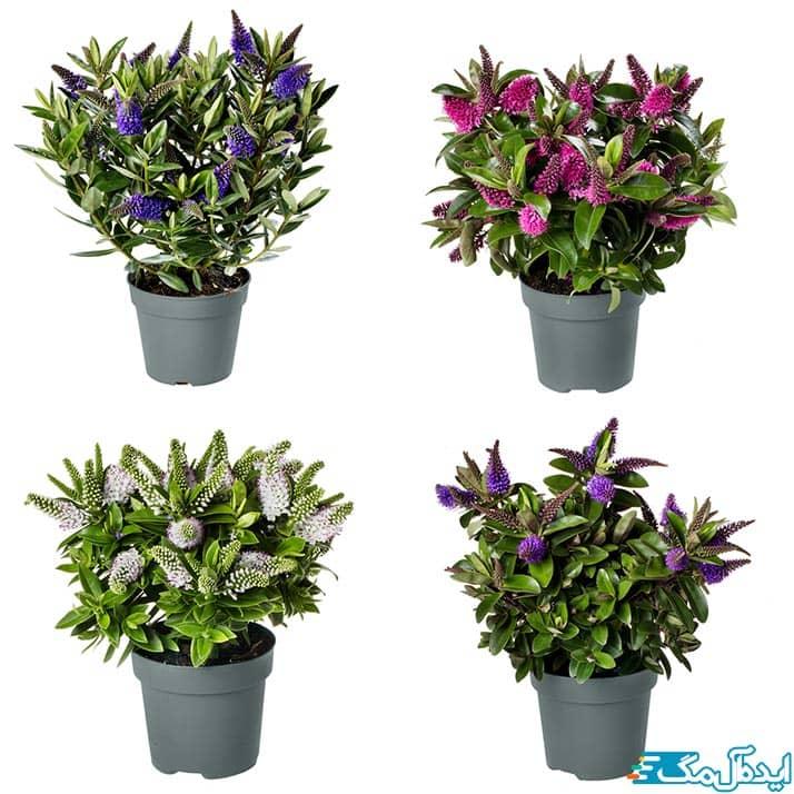 رنگ های مختلف گل شمشاد هی بی