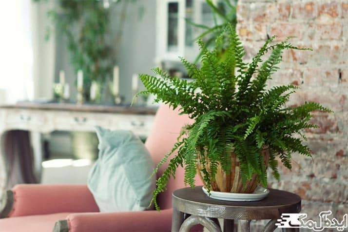 سرخس بوستون از بهترین گل های آپارتمانی
