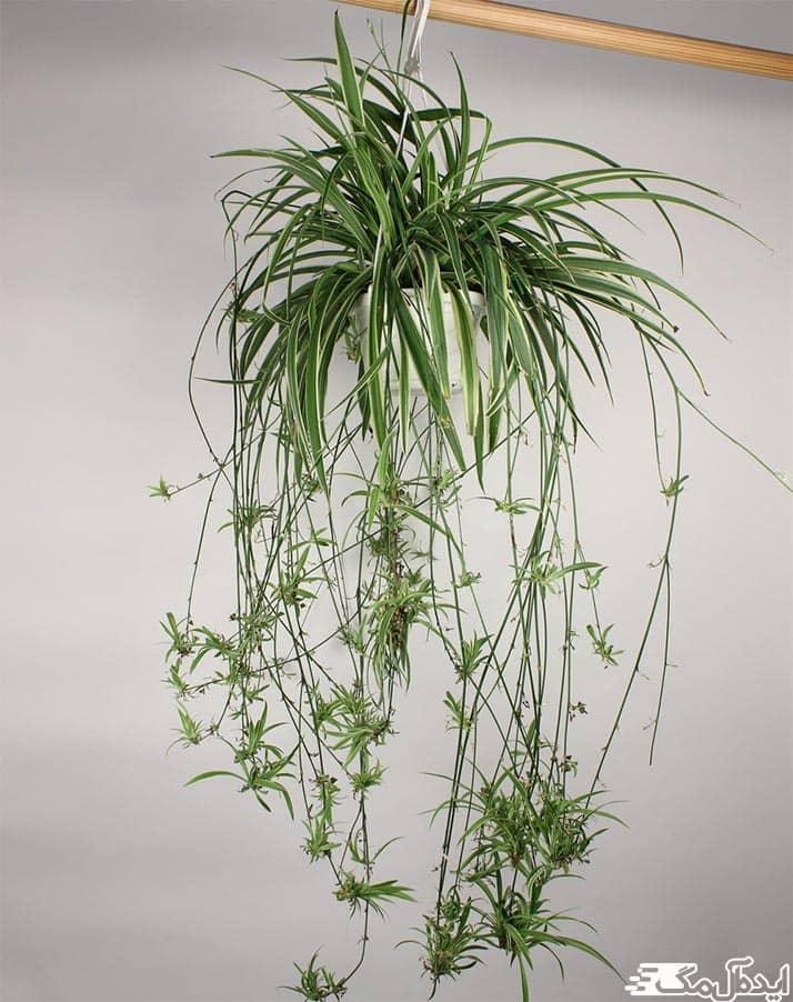 گل عنکبوتی یا گل گندمی