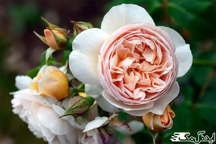 گران ترین گل رز جهان