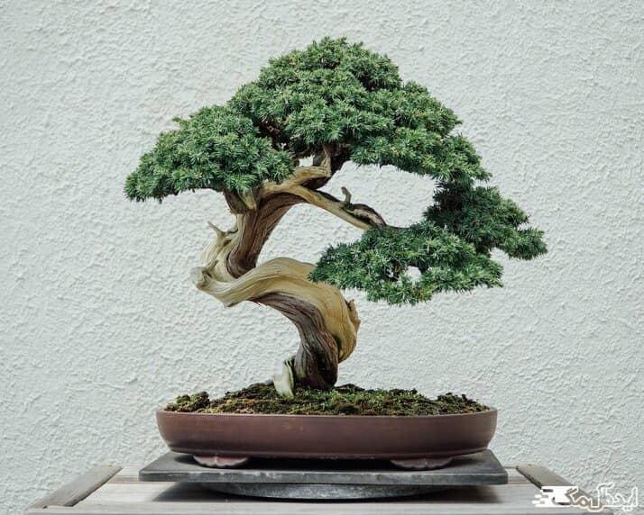 درخت بونسای یکی از گیاهان آپارتمانی گران قیمت