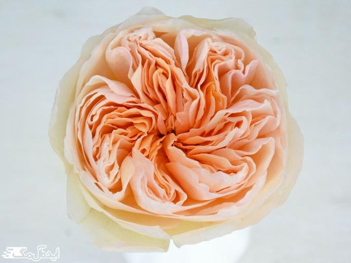 رز ژولیت یکی از گلهای آپارتمانی گران قیمت