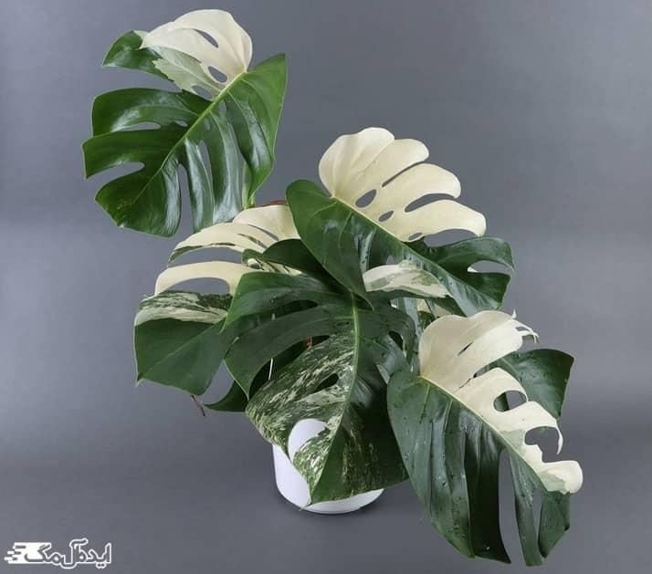 گیاه برگ انجیری ابلق