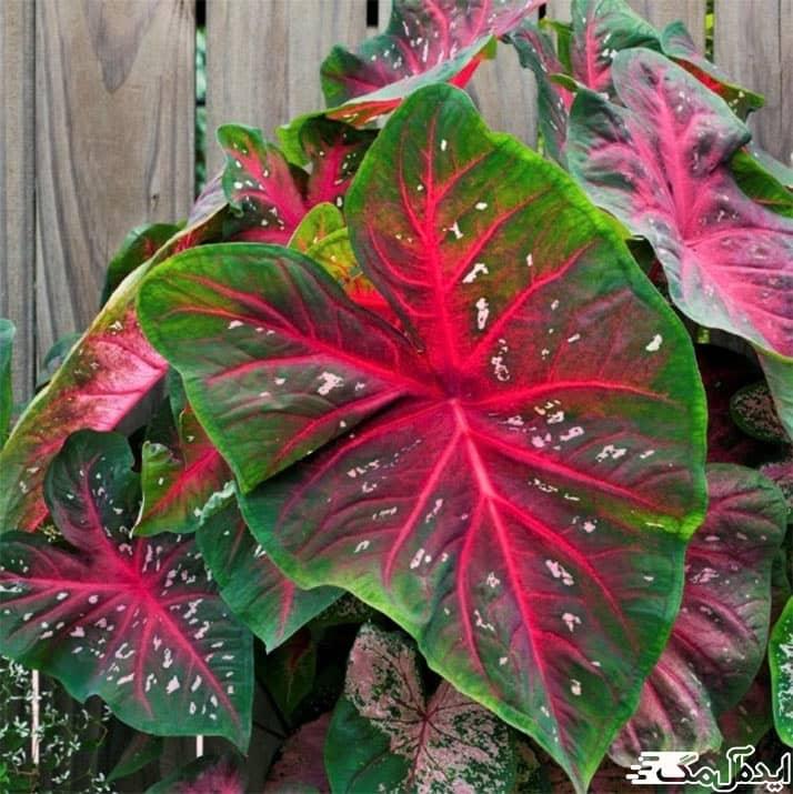گیاه با رنگ سبز و قرمز