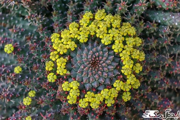 گلهای زرد رنگ افوربیا فلاناگانی