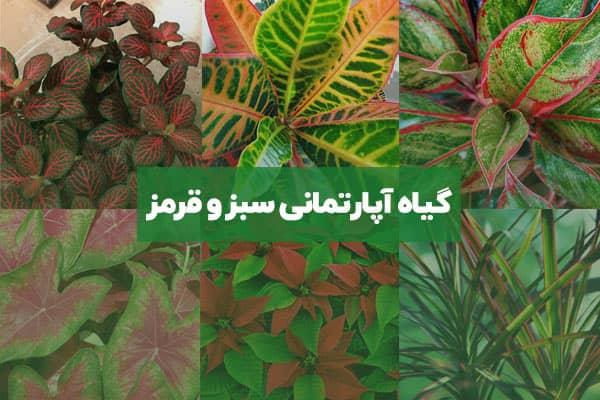 گیاه آپارتمانی با برگ سبز و قرمز