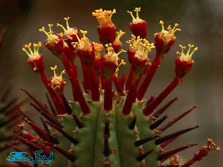 گیاه افوربیا آنوپلا