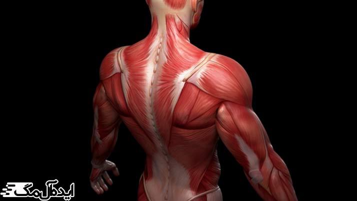مواد غذایی مفید برای سلامت عضلات