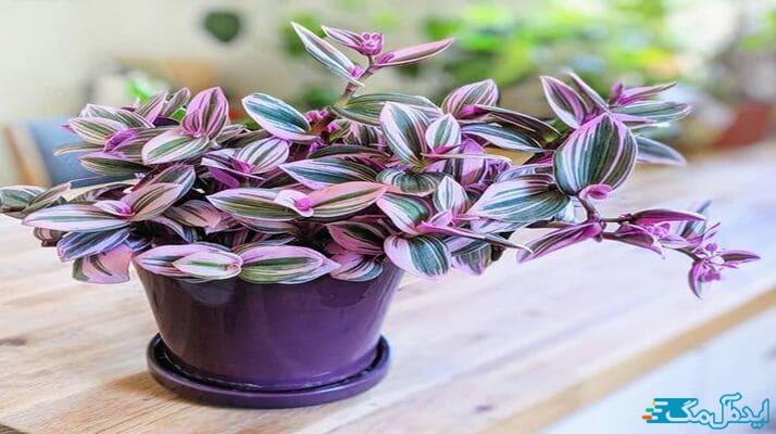 زیباترین گیاهان اپارتمانی؛ برگ بیدی