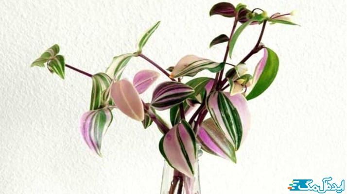 معرفی گیاه با برگ صورتی و سبز؛ برگ بیدی
