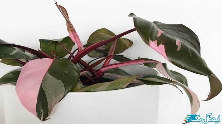 معرفی بهترین گیاهان آپارتمانی صورتی
