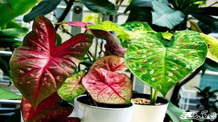 شرایط نگهداری گیاهان با برگ سبز و صورتی