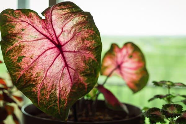 معرفی بهترین گیاهان آپارتمانی با برگ صورتی
